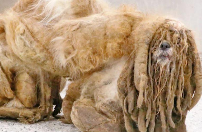 كلب تاه في الغابات منذ زمن.. شاهد كيف أصبح شكله بعد قص شعره